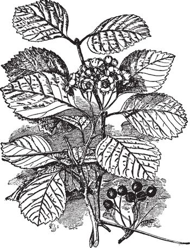 Crataegus Macracantha vintage illustration.