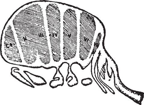 Limulus Longispina, vintage illustration.