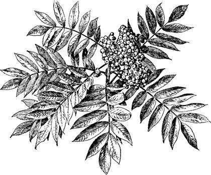 Sorbus Americana vintage illustration.