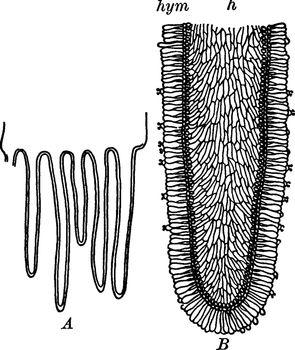 Fungus Gills vintage illustration.