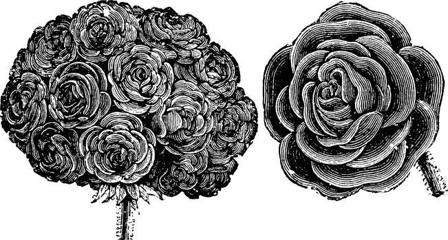 Truss and Single Flower of Double Zonal Pelargonium vintage illu