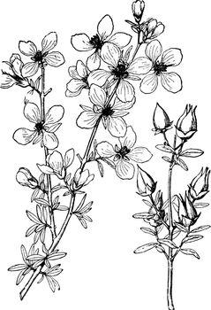 Fendlera Rupicola vintage illustration.