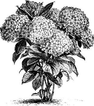 Hydrangea Hortensis vintage illustration.
