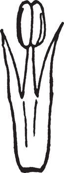 Form of Stamen   vintage illustration.