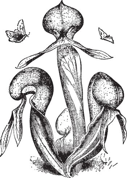 Darlingtonia vintage illustration.