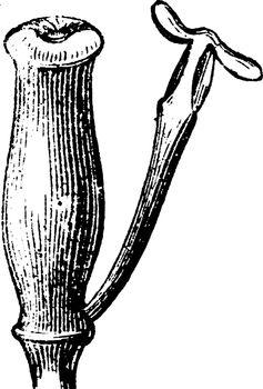 Pistil and Stamen of Burberis vintage illustration.