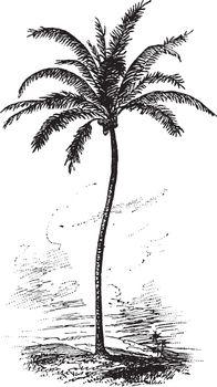 Coconut Palm vintage illustration.