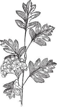 Crataegus Pinnatifida vintage illustration.