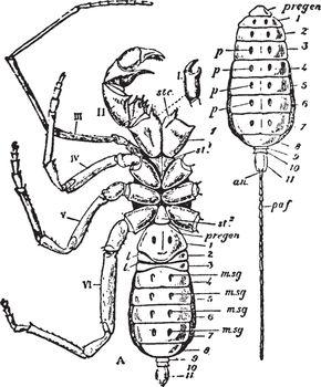 Thelyphonus, vintage illustration.