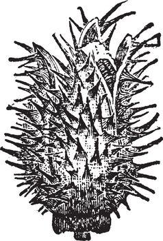 Thorn Apple Bud vintage illustration.