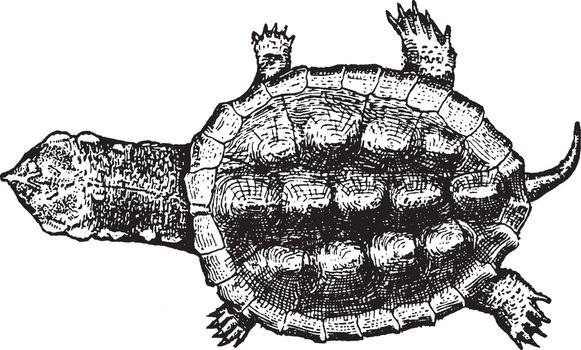 Turtle, vintage illustration.