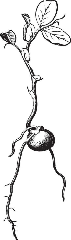 Pea Germination vintage illustration.