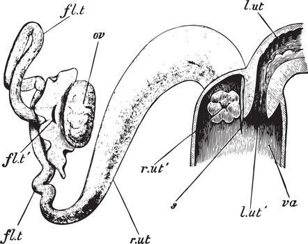 Rabbit Vagina, vintage illustration