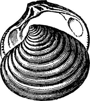 Astarte sulcata, vintage illustration.