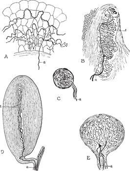 Peripheral Nerve Beginnings, vintage illustration.