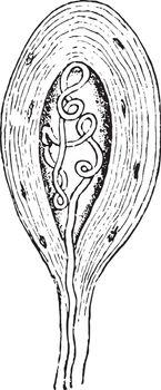 Termination of a Medullated Nerve Fiber, vintage illustration