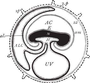 Mammal Fetus, vintage illustration