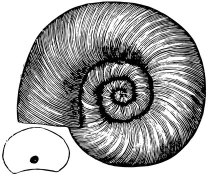 Coiled Chambered Shell, vintage illustration.