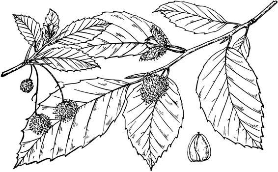 Branch of Fagus Americana vintage illustration.