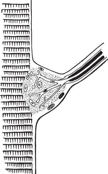 Termination of a Nerve in a Fiber of Cross Striped Muscle, vinta