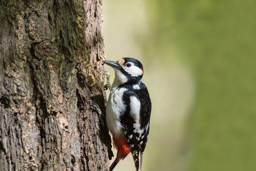A woodpecker sits on a tree and pecks the bark
