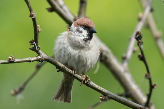 Passer domesticus on a branch, beautiful bird, nature