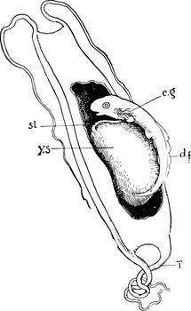Dogfish Embryo, vintage illustration.
