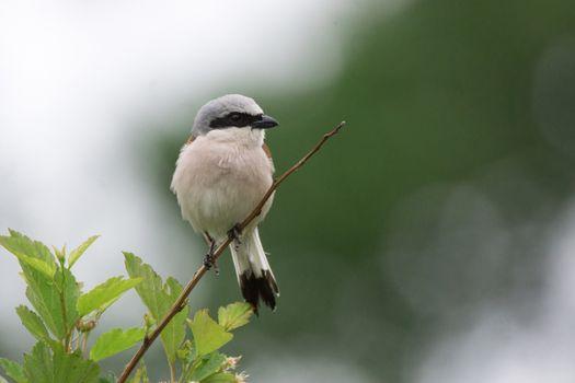 Lanius collurio sits on a branch, a gray bird