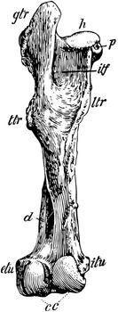 Posterior View of Left Femur of Horse, vintage illustration.