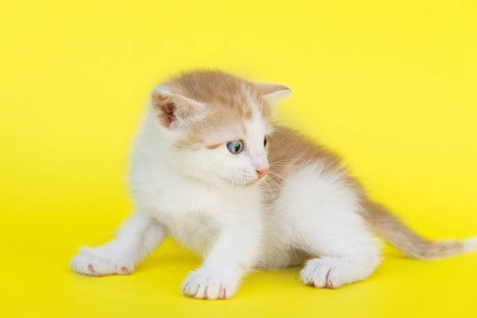 Little red kitten on a yellow background