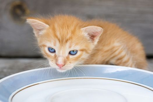 A small red kitten laps milk from a bowl