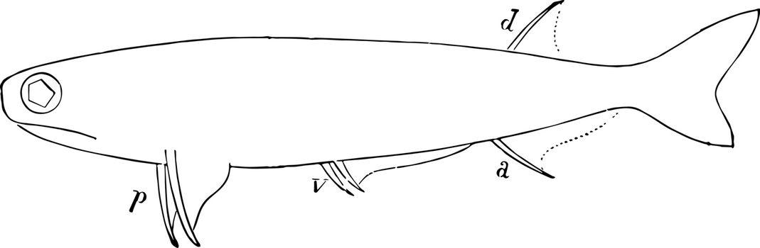 Acanthodes Sulcatus, vintage illustration.