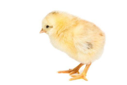 Chicken on white background, village, isolation, summer