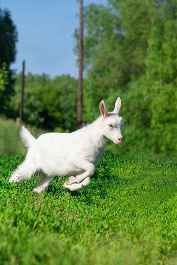 a small goat in a field of wheat