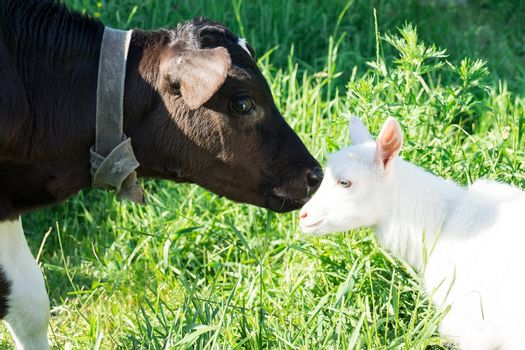 A calf kisses a small goat on the grass