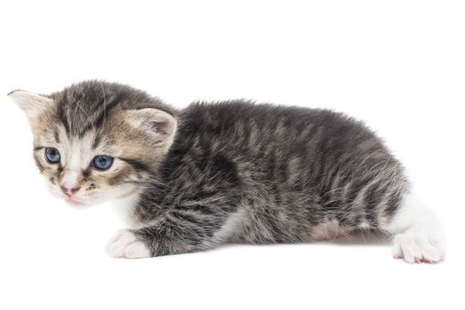 Playful gray kitten on a white background isolated
