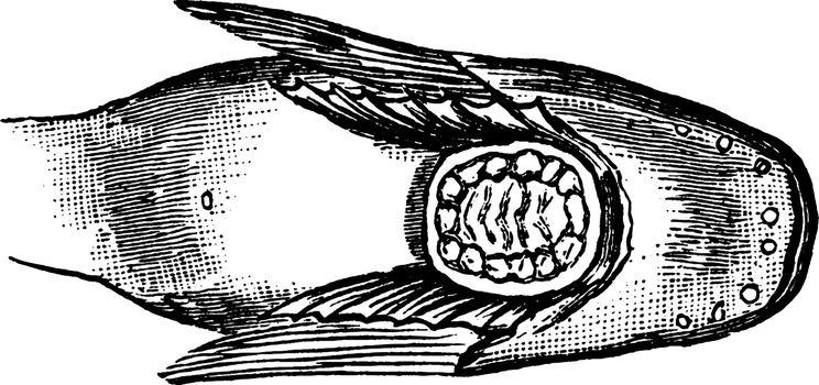 Snailfish Sucker Between the Pectoral Fins, vintage illustration