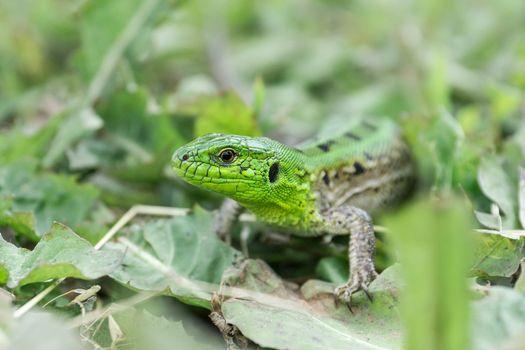 Green lizard (Lacerta agilis) sitting in the grass in garden
