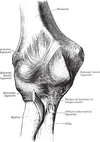 Anterior View of the Elbow Joint, vintage illustration.