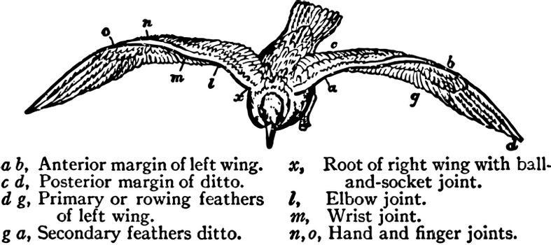 Elastic Spiral Wings of the Gull, vintage illustration.