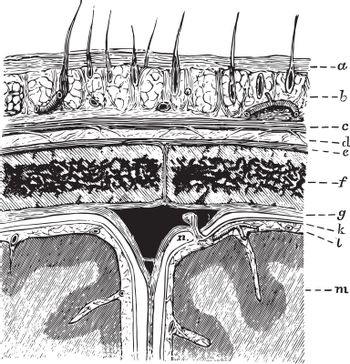 Layers of the Scalp and Membrane of the Brain, vintage illustrat