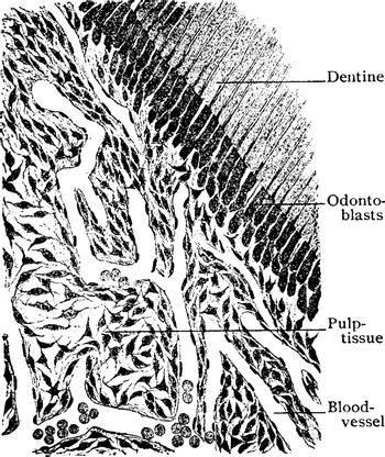 This illustration represents Section of Pulp Tissue of Tooth, vi
