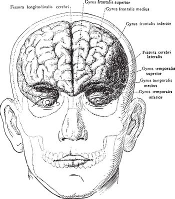 Brain in Relation to Skull and Face, vintage illustration