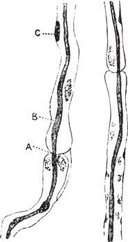 Nerve Fibers of the Sciatic Nerve, vintage illustration.