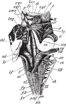 Medulla, vintage illustration
