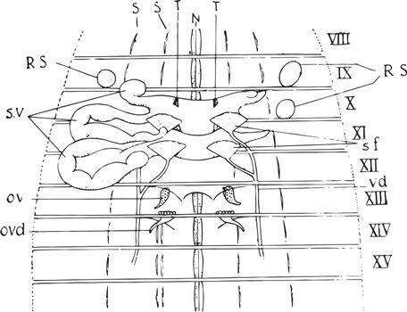 Earthworm Reproductive Organs, vintage illustration