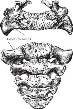 Superior and Anterior Surface of Sacrum, vintage illustration.