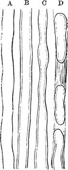 Primitive Nerve Fibers, vintage illustration.