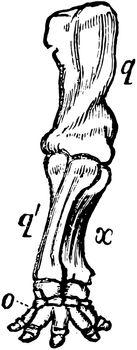 Anterior Extremity of Elephant, vintage illustration.