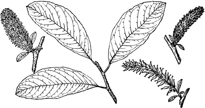 Branch of Hooker's Willow vintage illustration.
